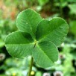 trèfle à quatre feuilles